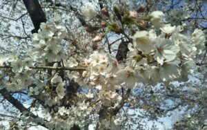 熊谷市のさくら祭りの桜