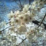 熊谷市の桜